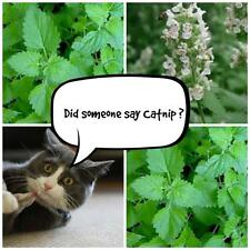 Catnip * 200 seeds * herb seed Nepeta cataria cats love it attracts pollinators