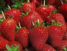 50 Strawberry Plants BEST BERRY Bare Root Plants Garden Best Fruits Outdoor NEW