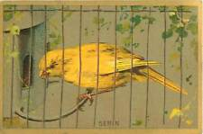 European serin Finches Serin cini Serinus Serinus oiseau bird 1900s IMAGE CHROMO