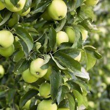 Apfel Baum 'Weißer Klarapfel' Malus im 7,5L Topf gewachsen ca. 150-200cm