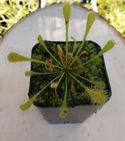 Drosera Nidiformis Tropical Carnivorous Plant Sundew