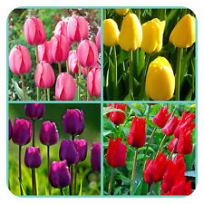 100 Tulip Mix Red/Yellow/Pink/Purple Bulbs Labelled Mix Flowering Guarantee