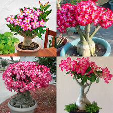semillas de Adenium Obesum desierto rosa perenne flor en maceta planta Nuevo