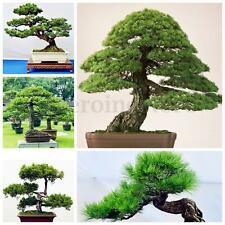 60PCS Pine Tree Seeds Houseplant Bonsai Landscape Pinus Thunbergii Gardening
