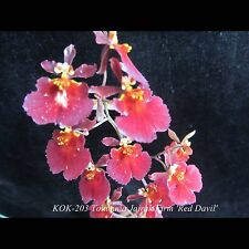 Tolumnia Jairak Firm 'Red Devil' (Equitant Oncidium - Clone)