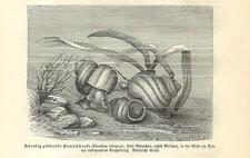 Stampa antica LUMACA DI FIUME Viviparus 1891 Old antique print