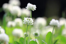 Eltrébol 3.000 semillas de Trifolium repens blanco trébol planta medicinal
