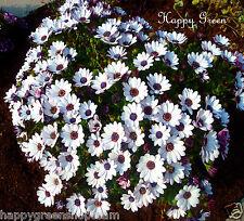 African Daisy WHITE - Osteospermum Ecklonis - 30 seeds - WHITE WITH PURPLE EYE