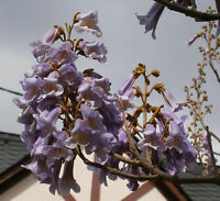 Chinesischer Blauglockenbaum *Paulownia tomentosa* 250 frische Samen