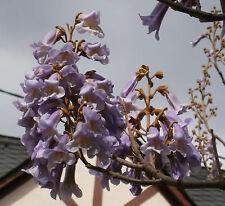 Chinesischer Blauglockenbaum *Paulownia tomentosa* 10000 frische Samen