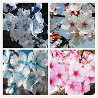 Japanese Sakura Oriental Seeds Plants Cherry Blossom Floresling As 10pcs/bag