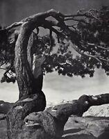 1950s Vintage ANSEL ADAMS Yosemite Valley Jeffrey Pine Landscape Photo Art 12X16