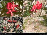 Fine Red Creeper Seed -  Drought/Frost Resistant Native Climber/Groundcover