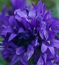 200 Samen Knäuel-Glockenblume blau Campanula glomerata - Tolle Schönheit
