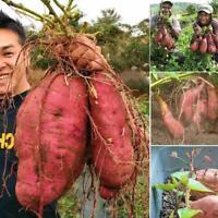 100 stücke organischen pflanzen gemüse korn süßkartoffel samen zac
