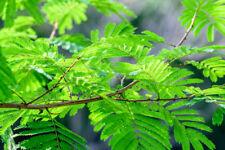 5 Seeds Shikakai Great potted Tropical Ornamental Shampoo Bush Acacia concinna