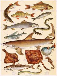 PAINTING BOOK SCHERREN POPULAR NATURAL HISTORY FISHES ART PRINT POSTER HP504