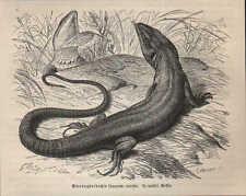 Druck 1878: Smaragdeidechse (Lacerta viridis).