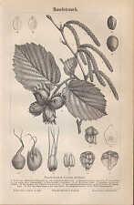 Lithografie 1890: Haselstrauch. Haselnuss Strauch Busch Baum Holz Nüsse