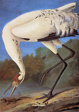 Audubon Reproductions: Watercolor Study - Whooping Crane -  Fine Art Print