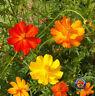 250 Cosmos Sulphur Klondike Bright Lights Flower Seeds