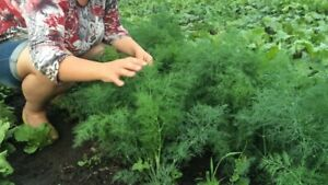 Seeds Dill Alligator Mammoth Vegetable Planting Organic Heirloom Garden Ukraine