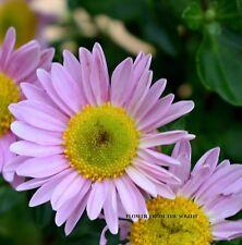 "Chrysanthemum ""My Pink Dream"" x 1 plant. Extremely long vase and shrub life!"