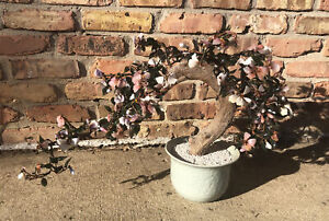 "LARGE 26"" Glass Shells Sakura Cherry Blossom Potted Bonsai Tree Decor Sculpture"