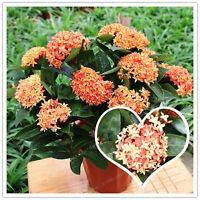 Gymnopetalum chinensis 50 Seeds Gymnopetalum cochinchinense Seeds From Thailand