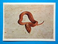 Figurina Panini-ANIMALI DI TUTTO IL MONDO 1965-n.19-BOILERA-rec