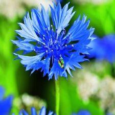 Wildflower - Cornflower - 1200 Seeds
