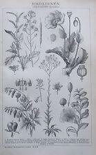 Amaryllis Osterluzei Passionsblume Chromolithographie 1892 historischer Druck
