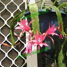 EPIPHYLLUM Cactus Cacti Succulent - Nelsonii D5 Cutting (Will Combine Postage)