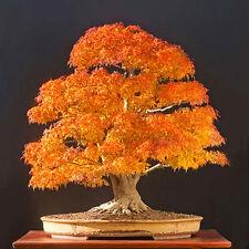 20pcs Blue Yellow Japanese Maple Tree Bonsai Seeds Acer Palmatum Atropurpureum