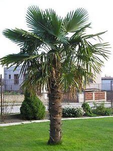 390 cm Hanfpalme Trachycarpus Fortunei, Freilandpalme, winterhart bis ca. -19°C