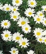 1000 DWARF SHASTA DAISY Chrysanthemum Flower Seed +Gift