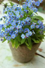 FLOWER SEEDS FORGET ME NOT MYOSOTIS SYLVATICA - 50 SEEDS Perennial