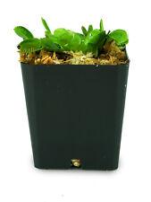 Dionaea muscipula (Venus Fly Trap) '#2'