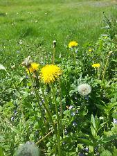 Löwenzahn - 1000 Samen Pusteblume - wilder Salat  und Heilpflanze
