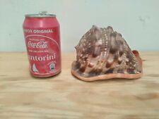 """BIG Brown Sea urchin shell Conch mollusc gastropods 6.30"""" rare unknown species"""