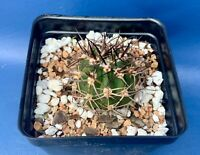 "ACANTHOCALYCIUM FERRARI IN A 4"" POT, SEED GROWN CACTUS PLANT, #1080"