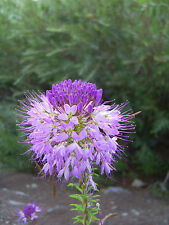 Rocky Mountain Spinnenblume 250 Samen Cleome Serrulata