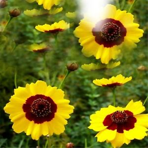 45g Organic Kunlun Mountain Snow Daisy Chrysanthemum Tea Flower Tea Tisane Té 花茶