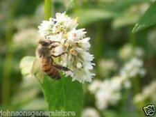 10 lbs Buckwheat Seeds For Bee Pasture Grain Crop Wildlife Cover Soil Erosion