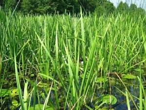 Branched Burr Reed Sparganium Erectum Lake LIVE Water Plants Pond Aquatic Bog