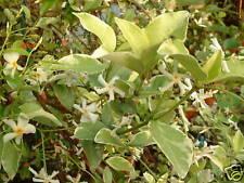 JASMIN ETOILE RUSTIQUE variegata Trachelospermum