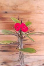 EUPHORBIA MILII Esqueje de Planta suculenta viva Roja 15 cm Cutting Succulent