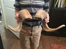 Sheep Horns, Full Curl, Matching Set, Real Horns!