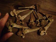 REAL GOAT VERTEBRAE LOT animal bones for crafts or taxidermy