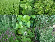 Minze - 9 Sorten - Mint - 9 varieties - 155+ Samen - DUFTIGE RARITäTEN!